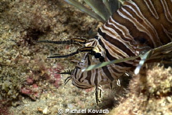 Lionfish on the Eastern Edge of the First Reefline off th... by Michael Kovach 